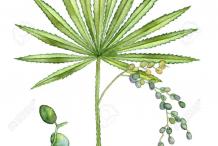 Saw-palmetto-Illustration
