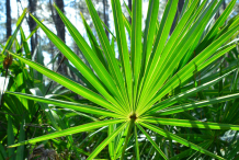 Saw-palmetto-Leaves