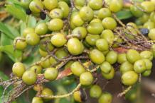 Unripe-Saw-palmetto-fruit