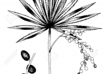 Saw-palmetto-plant-Sketch