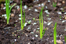 Scallions-seedlings