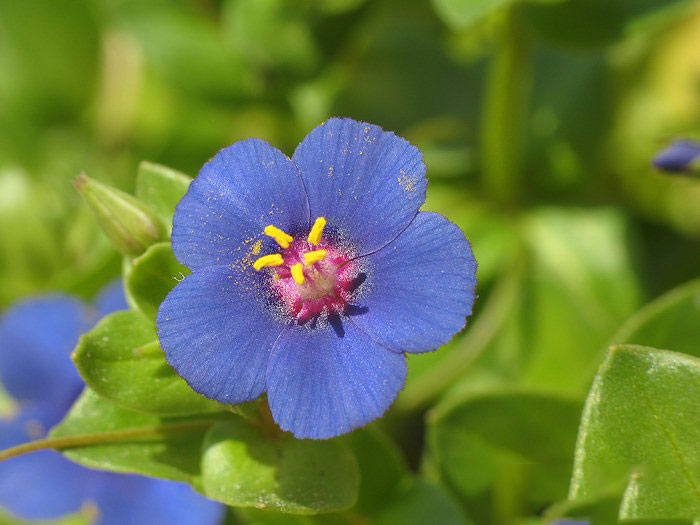 Closer-view-of-Flowers-of-Scarlet-Pimpernel