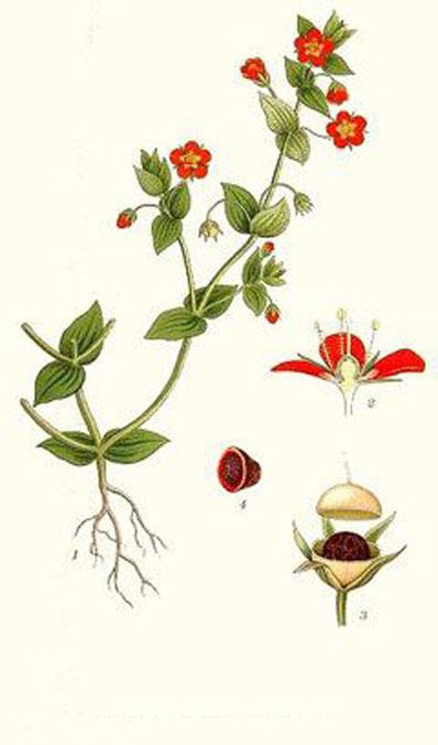 Plant-Illustration-of-Scarlet-Pimpernel