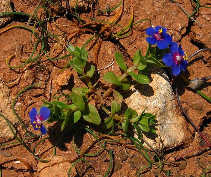 Scarlet-Pimpernel-Plant