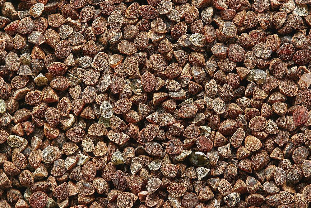 Seeds-of-Scarlet-Pimpernel