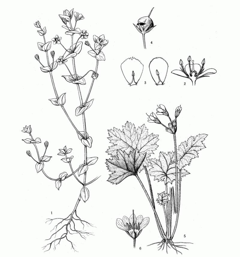 Sketch-of-Scarlet-Pimpernel