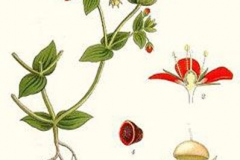 Plant-Illustration-of-Scarlet-Pimpernel