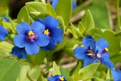Scarlet-pimpernel-flowers