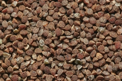 Seeds-of-Scarlet-Pimpernel
