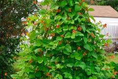 Scarlet-runner-bean-plant