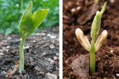 Seedlings-of-Scarlet-runner-bean