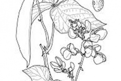 Sketch-of-Scarlet-runner-bean