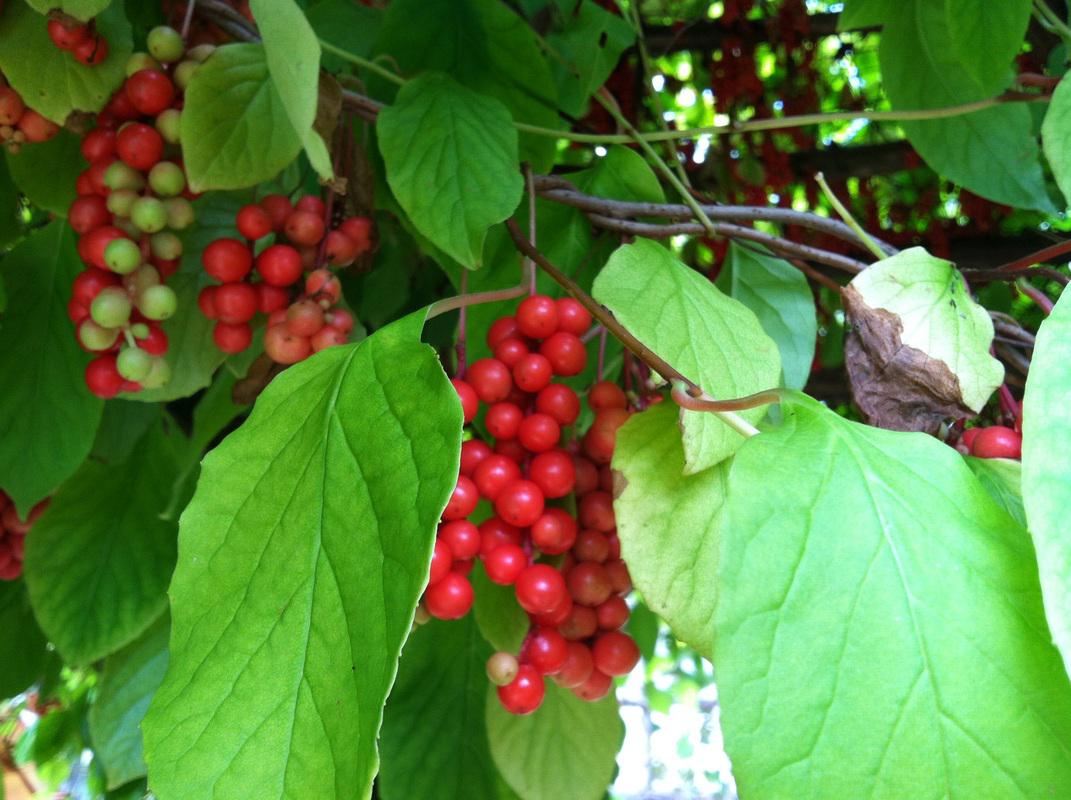 Schisandra-fruits-on-the-Plant