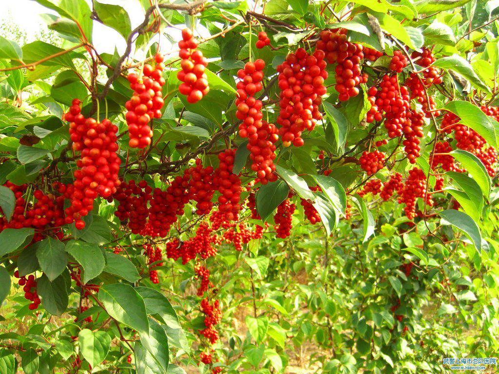 Schisandra-plant