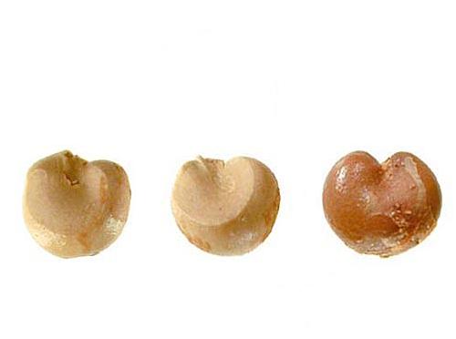 Seeds-of-Schisandra