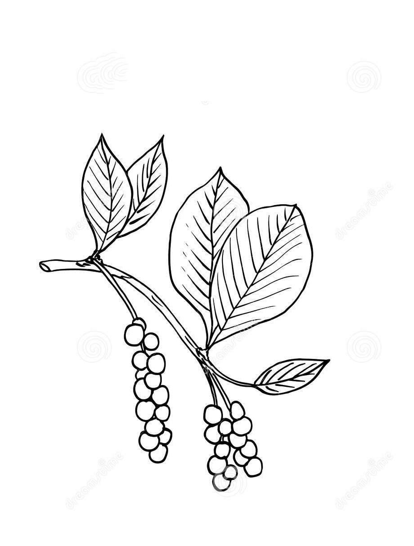 Sketch-of-Schisandra