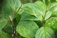 Leaves-of-Schisandra