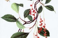 Plant-Illustration-of-Schisandra