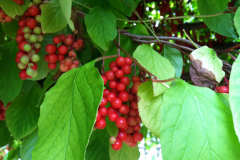 Schisandra-fruits-on-the-Plant