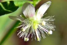 Scoparia-weed-flower