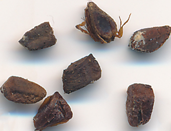 Closer-view-of-Screw-Tree-seed