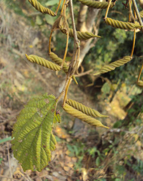 Ripe-fruit-of-Screw-Tree
