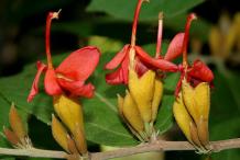 Flower-of-Screw-Tree