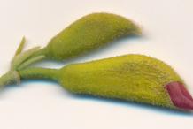 Flowering-buds-of-Screw-Tree
