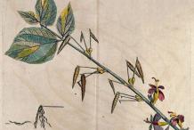 Plant-illustration-of-Screw-Tree