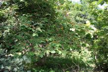 Screw-Tree--growing-wild