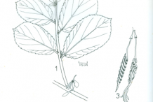 Plant-sketch-of-Screw-Tree