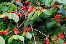 Screw-Tree-while-Flowering