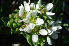 Closer-view-of-flower-of-Scurvy-Grass