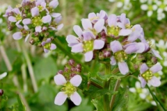 Flower-of-Scurvy-Grass