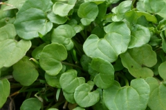 Leaves-of-Scurvy-Grass