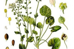 Plant-Illustration-of-Scurvy-Grass