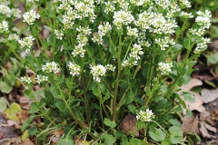 Scurvy-Grass-Plant