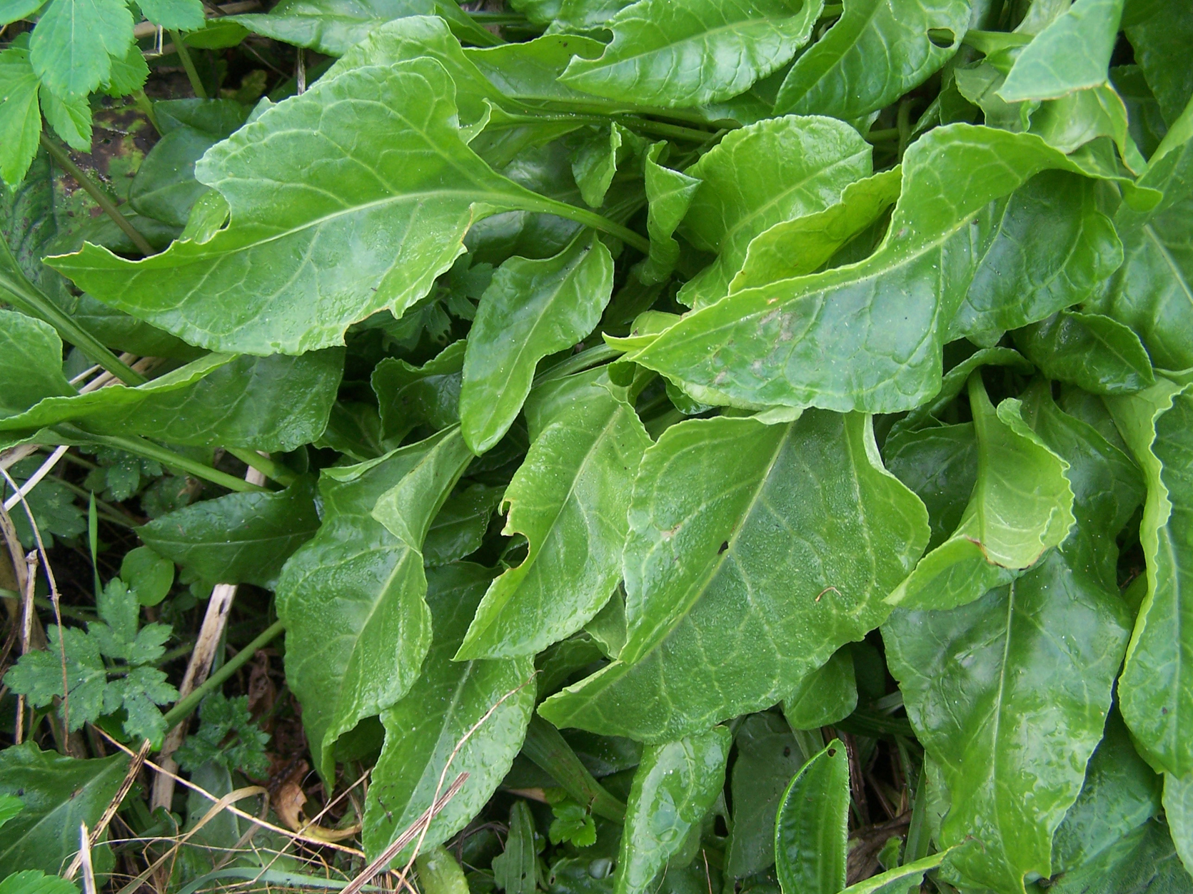 Leaves-of--Sea-beet