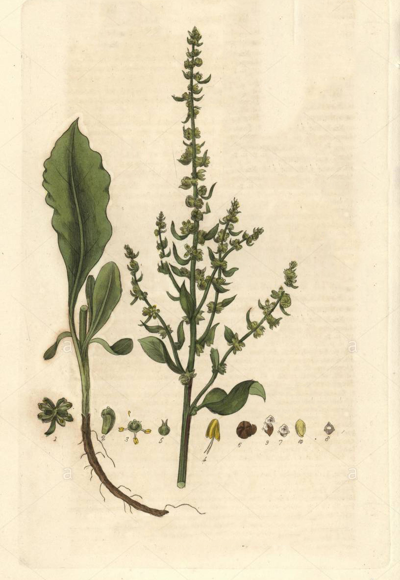 Plant-Illustration-of--Sea-beet