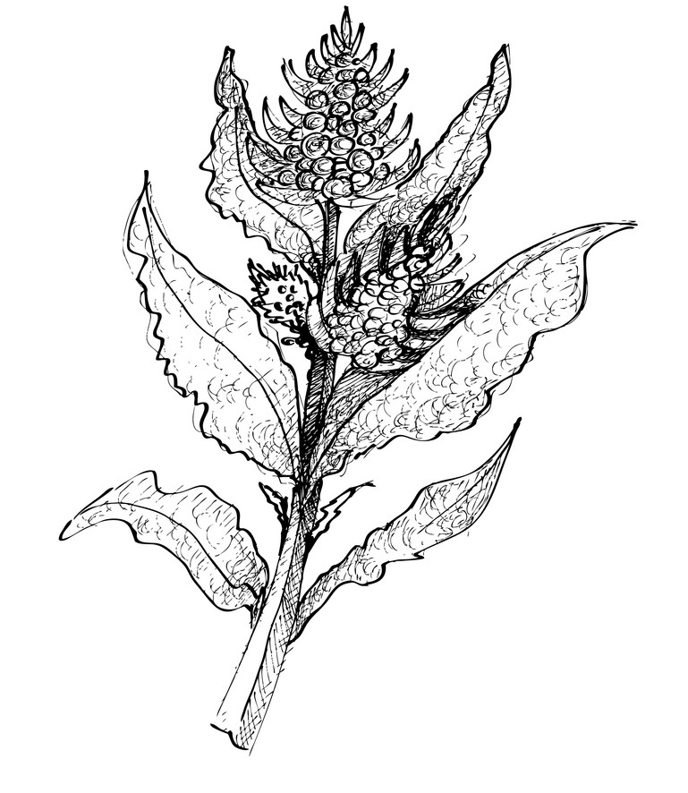 Sketch-of-Sea-beet