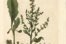 Plant-Illustration-of--Sea-beet
