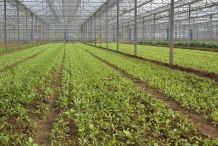 Sea-beet--farming