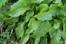 Leaves-of--Sea-beet