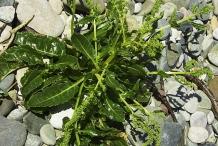 Sea-Beet-plant