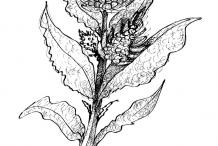 Sketch-of-Sea-beet