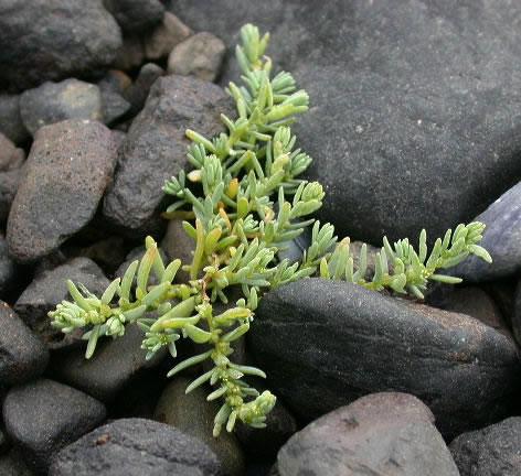 Sea-Blite-Plant