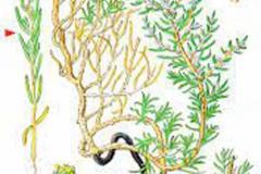 Plant-Illustration-of-Sea-Blite