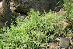 Sea-Blite-Plant-growing-wild