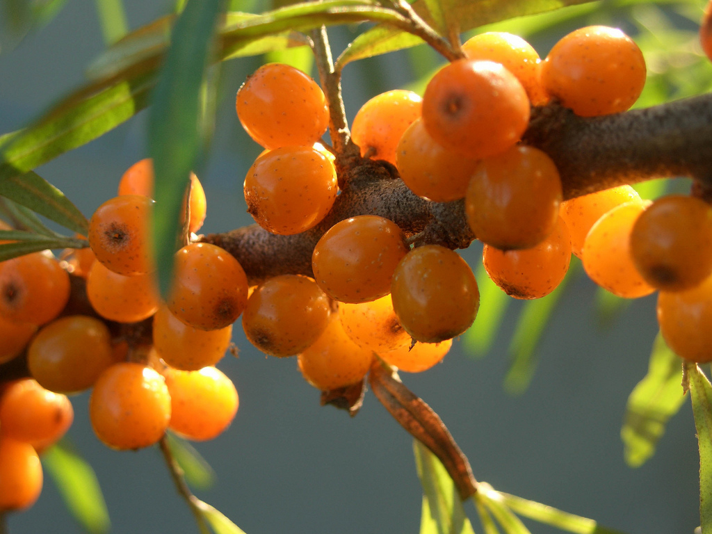 Sea-buckthorn-berries