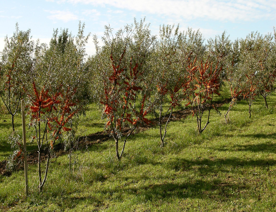 Sea-buckthorn-farm
